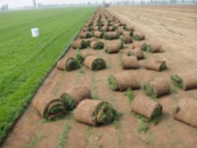 涿州卖草坪(北京草坪销售)蓟县卖草坪草皮