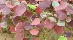 红叶小檗、金叶女贞、南天竹价格