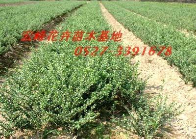 彩叶绿化苗木 各种花卉盆景 CO土木在线图片