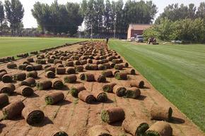 丰宁小区草坪价格 绿化草坪厂家