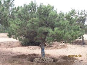 供应白皮松,油松,国槐,刺槐,侧柏,柳树