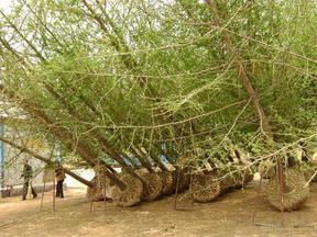 专业经营3-100公分银杏树