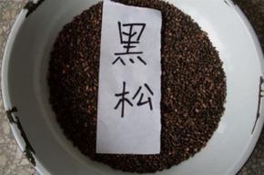 黑松种子价格