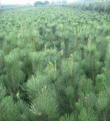 供应20-40公分山东油松苗木