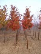 常年供应各种规格美国改良红枫︱美国红枫︱北美枫香︱北美复叶槭等等