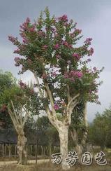 批发销售-大红紫薇种子-万芳园艺