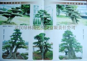 世界珍稀树种——对节白蜡大树,大型桩景,盆景