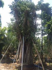 广州苗木印度橡胶榕10cm-100cm基地直销