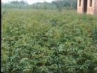 花椒苗1-2年花椒苗花椒苗价格