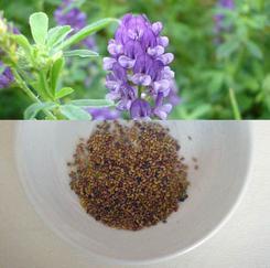 石家庄优质紫花苜蓿种子