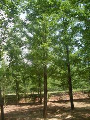 低价供应优质银杏树/银杏小苗