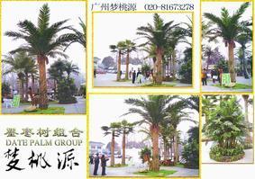 园艺棕榈树、海枣、大王椰、葵树