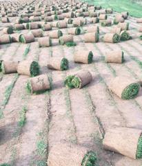 山西草坪销售基地 山东草坪销售基地 山西绿化草坪