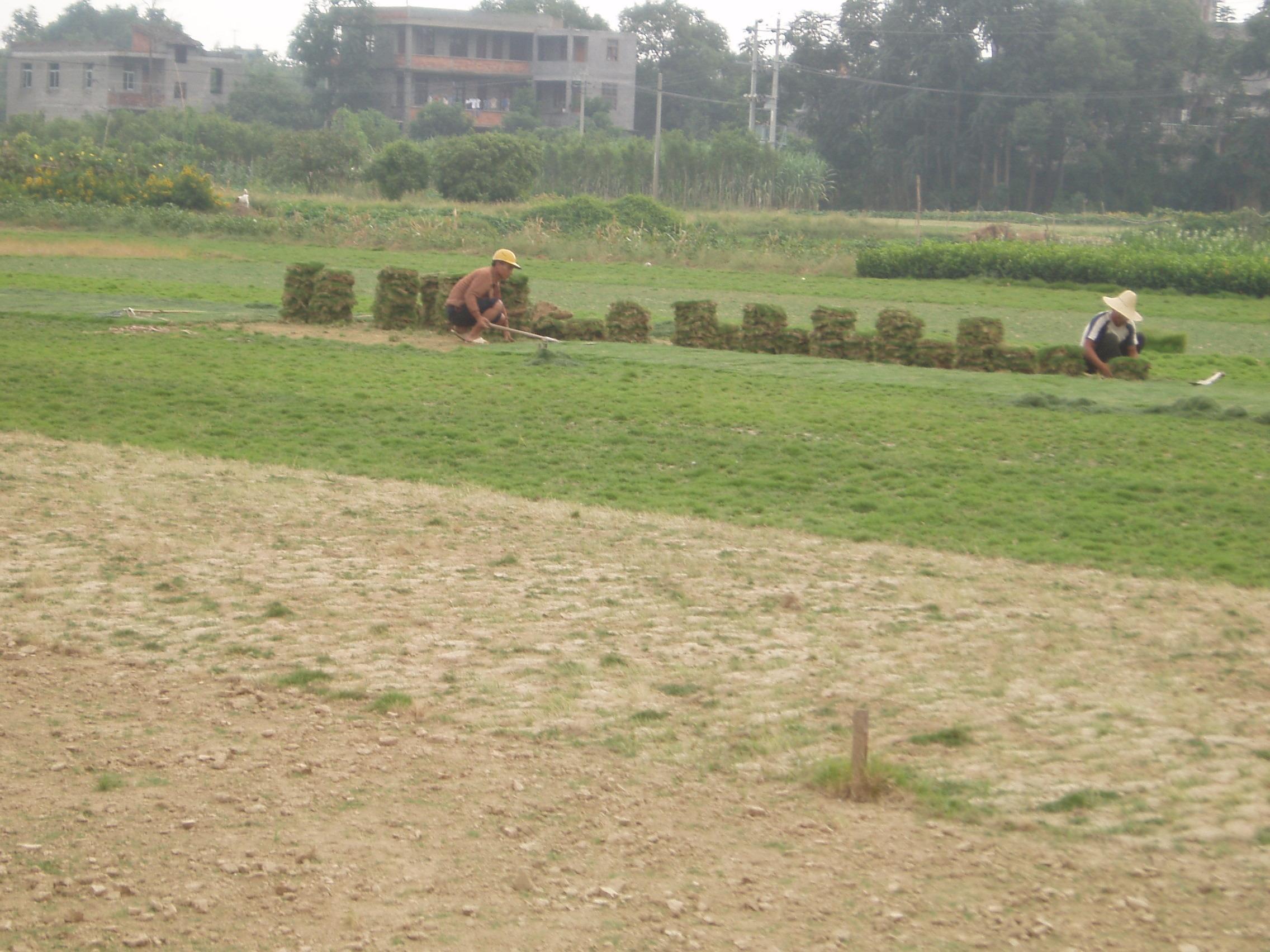 马尼拉草皮高清图片