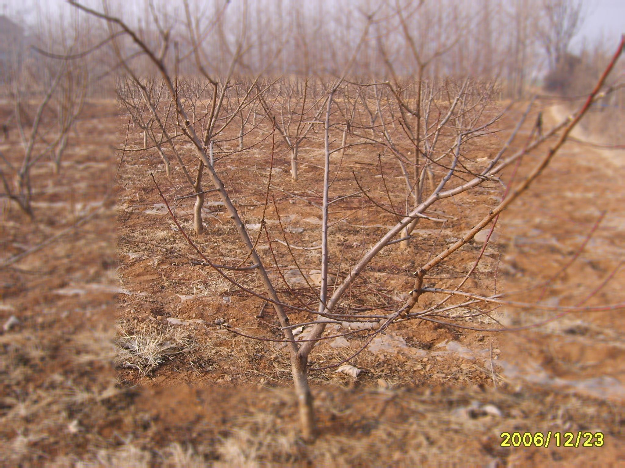 园林景观素材桃树