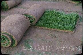 果岭草草坪 黑麦草