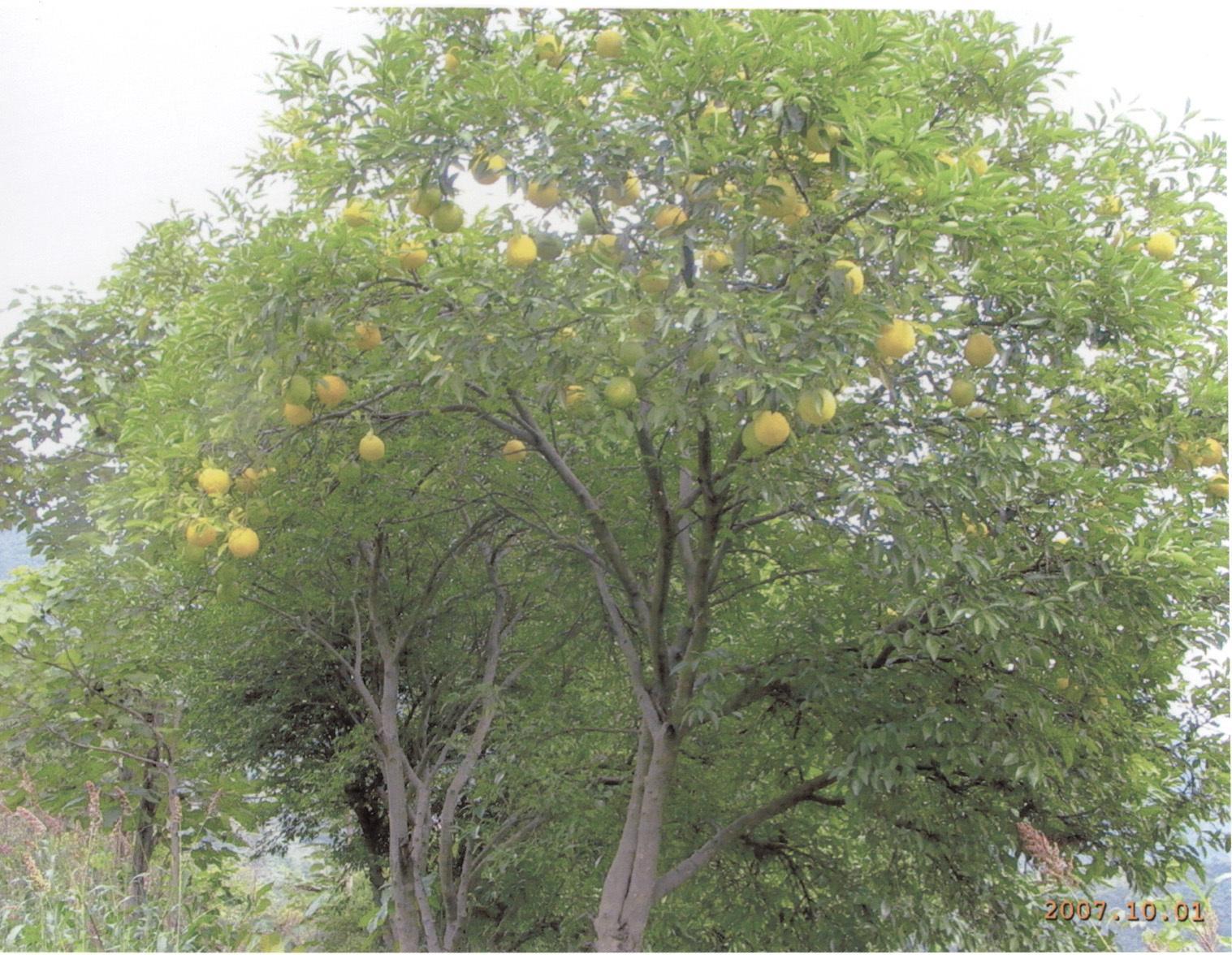 详情介绍       香橼:常绿乔木,树叶肉质,色泽光滑,有清香,果实成熟后