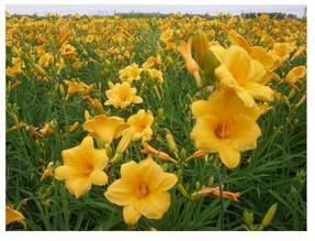 地被/草花大花萱草、马尼拉草坪、红花酢浆草、鼠尾草、玉簪葱兰