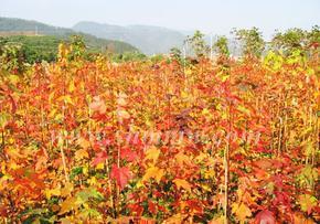 美国改良红枫、多花蓝果树等彩色苗木