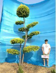 金叶榆造型树