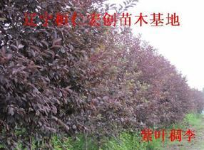 紫叶稠李小苗、紫叶稠李基地、辽宁紫叶稠李、紫叶稠李种子