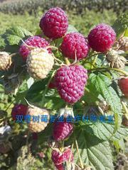 树莓苗批发 树莓苗树莓种植