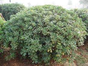 常绿灌木金森女贞、海桐球、法国冬青、栀子花、金边黄杨、火棘球