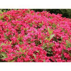 红王子锦带,蔷薇、红帽、黄帽、马海木、萨木莎、丰花月季