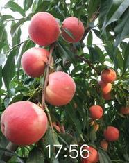 玉妃桃苗多少钱一棵 玉妃桃树苗品种介绍