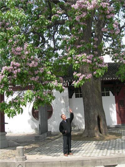 楸树树冠浓密,枝叶叠生,叶被密生细毛