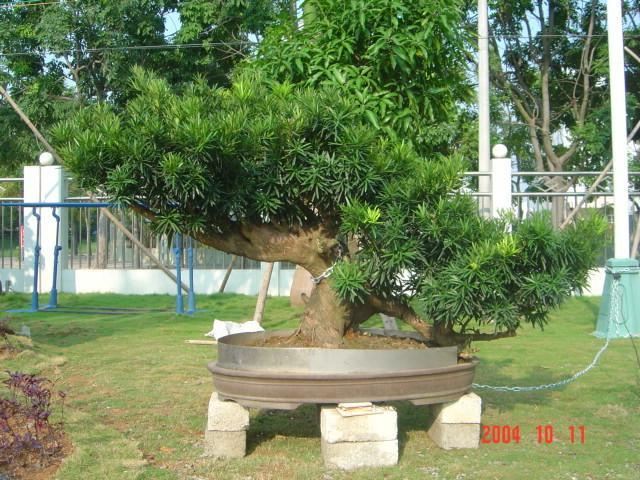 商易宝 产品列表 园林景观 造型/盆景 盆景 树木盆景  点击查看原图