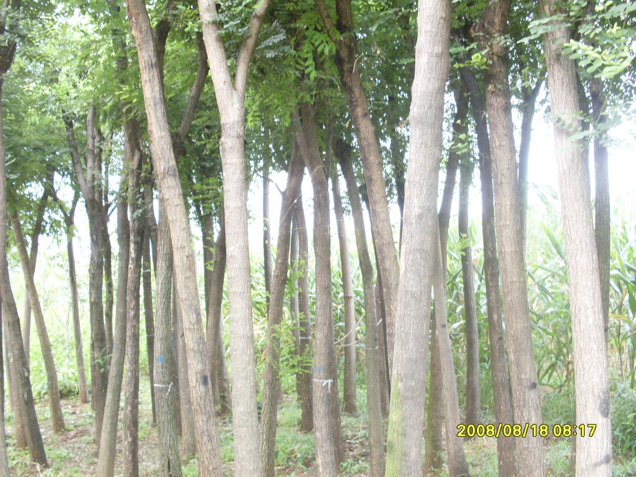 园林国槐树木图片大全