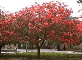 落叶乔木乌桕、七叶树、枫杨、二乔玉兰、柿树、合欢、臭椿、苦楝