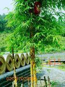 黄金竹等300种园林观赏竹子