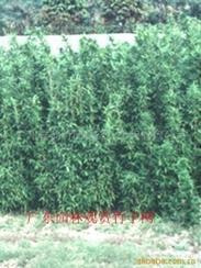 供应茶秆竹
