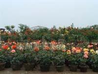 南阳月季基地批量供应花卉苗木