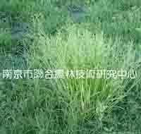 供应草地早熟禾种子