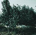 供应金叶女贞、红叶小檗、月季等