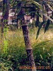 供应广州观赏竹