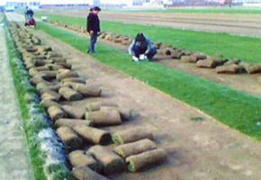 (北京,通州,燕郊,顺义)草坪销售卖草坪