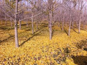 苗圃直供银杏树-春节前的银杏树价格行情