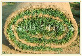 冬季草坪 混播草坪 天富道混播黑麦草