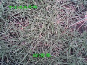 台湾草.马拉草