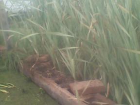 供应水生鸢尾,千屈菜,蓑鱼草,水葱