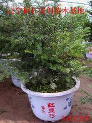东北红豆杉基地、辽宁东北红豆杉、东北红豆杉小苗