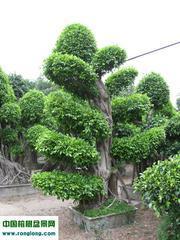 榕树盆景--景观榕树