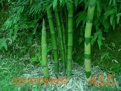 竹子的种类图片 室内养竹子的种类图片,盆栽竹子的种类图片