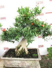 石榴树盆景   石榴盆栽  百年古树  净化空气