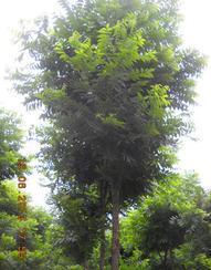 供应胸径5-10公分美国山核桃采穗树(2013-2014)