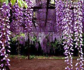 攀援植物连翘、迎春、紫藤、常青藤、凌霄、爬山虎、黄刺玫金丝桃